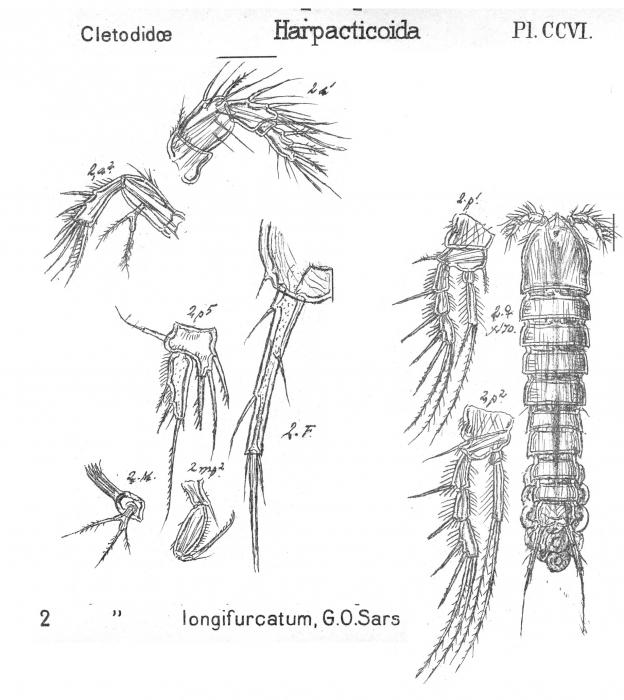Enhydrosoma longifurcatum from Sars, G.O. 1909
