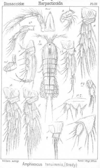 Amphiascus tenuiremis from Sars, G.O. 1906
