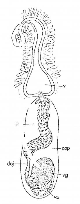 Archiloa petiti