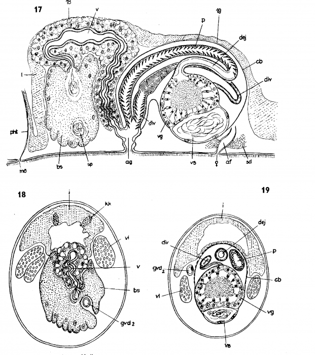 Archiloa westbladi
