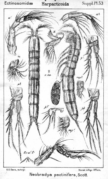 Neobradya pectinifera from Sars, G.O. 1911