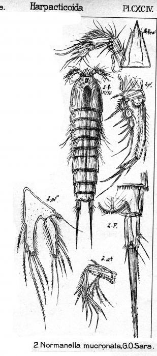 Normanella mucronata from Sars, G.O. 1909