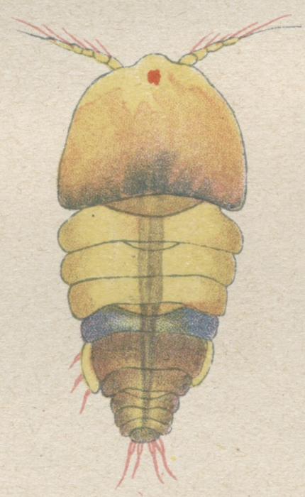 Alteutha interrupta from Brian, A 1921