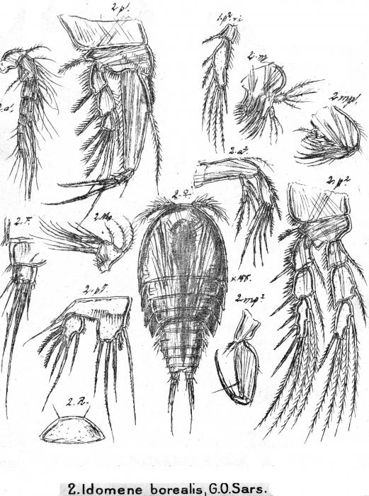 Idomene borealis from Sars, G.O. 1911