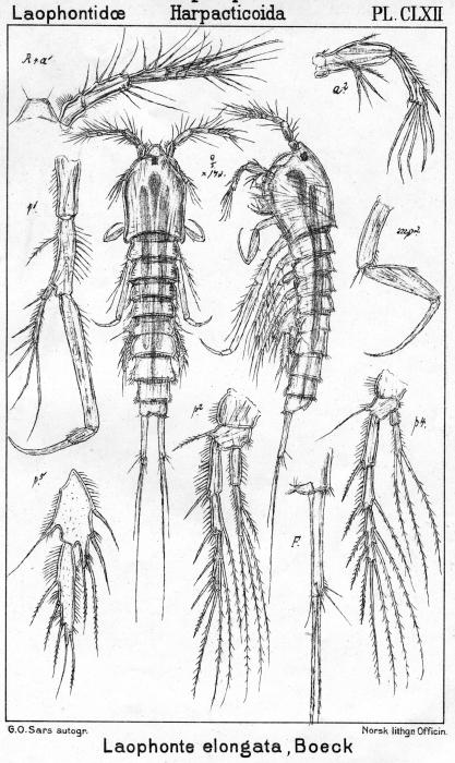 Laophonte elongata from Sars, G.O. 1908