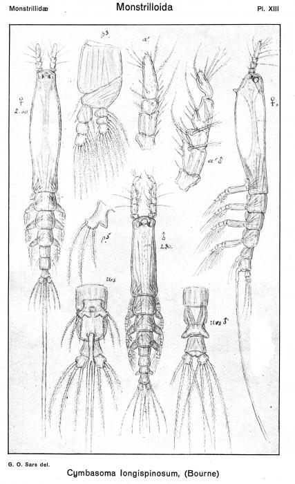 Cymbasoma longispinosum from Sars, G.O. 1921