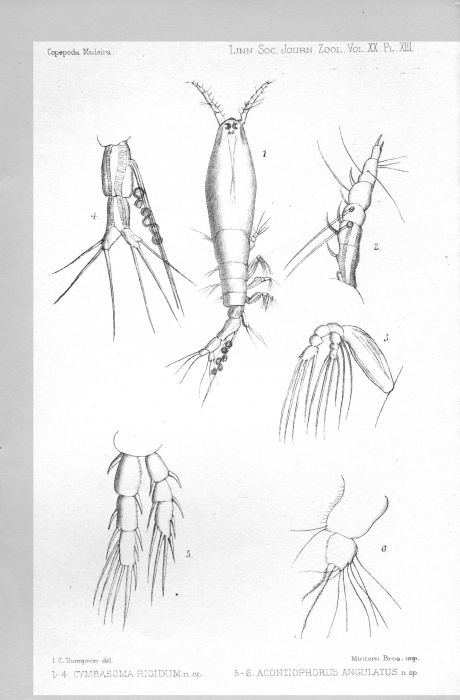 Cymbasoma rigidum from Thompson 1888