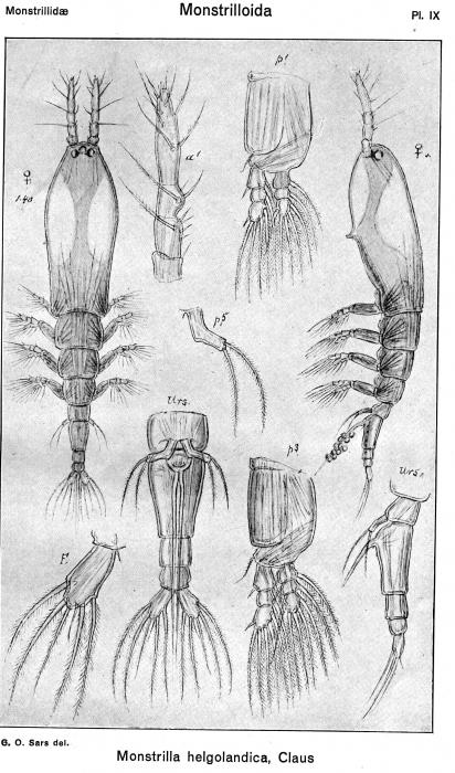 Monstrilla helgolandica from Sars, G.O. 1921
