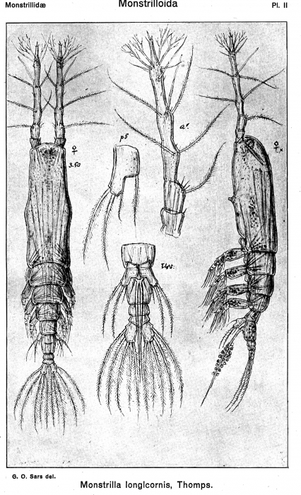 Monstrilla longicornis from Sars, G.O. 1921