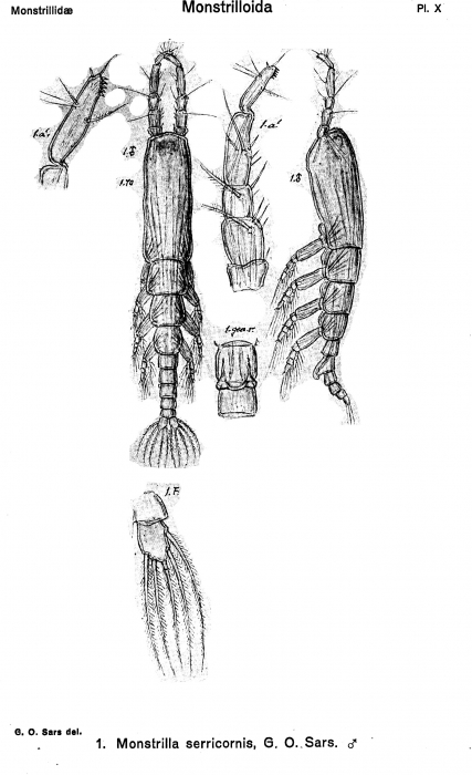 Monstrilla serricornis from Sars, G.O. 1921