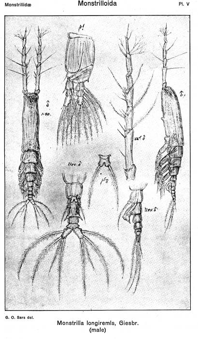 Monstrilla longiremis from Sars, G.O. 1921
