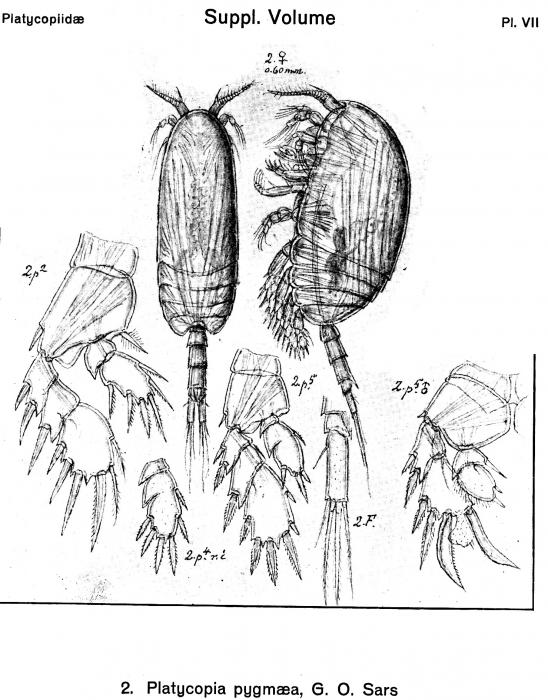 Platycopia pygmaea from Sars, G.O. 1919