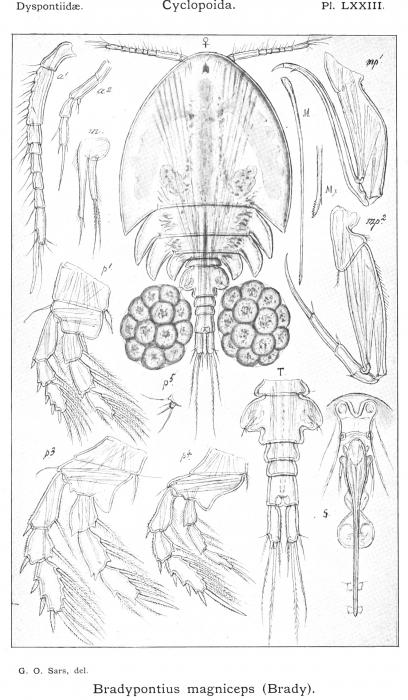 Bradypontius magniceps from Sars, G.O. 1915