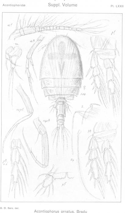 Acontiophorus ornatus from Sars, G.O. 1921