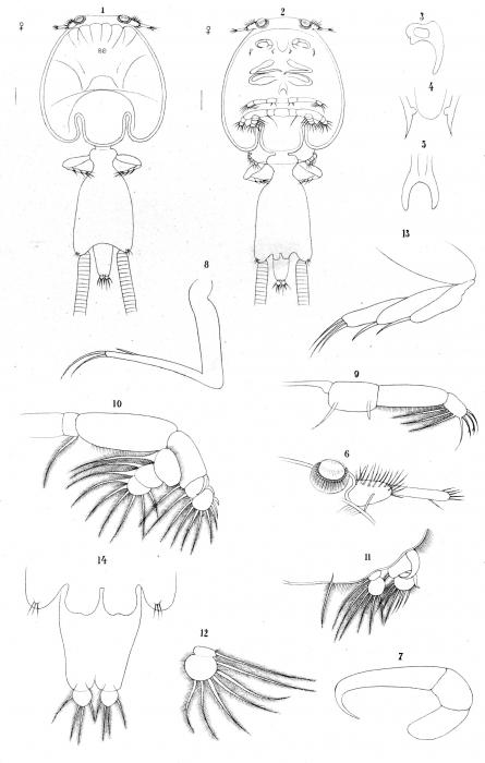Caligus lichiae from Brian, A 1906