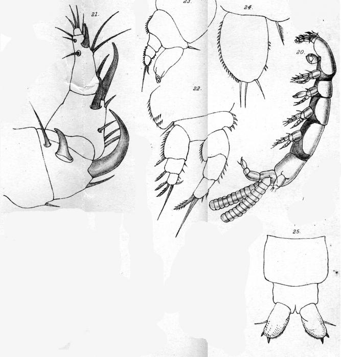 Eudactylina acuta from Scott, T 1902