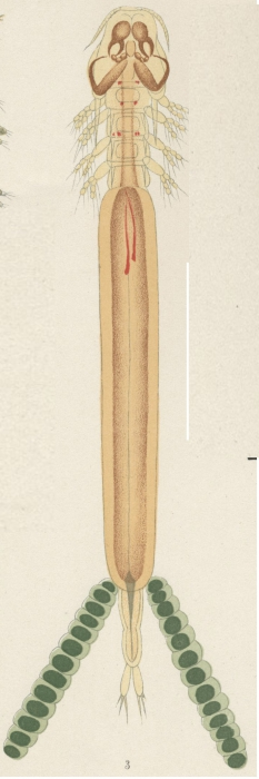 Kroyeria lineata from Brian, A 1906