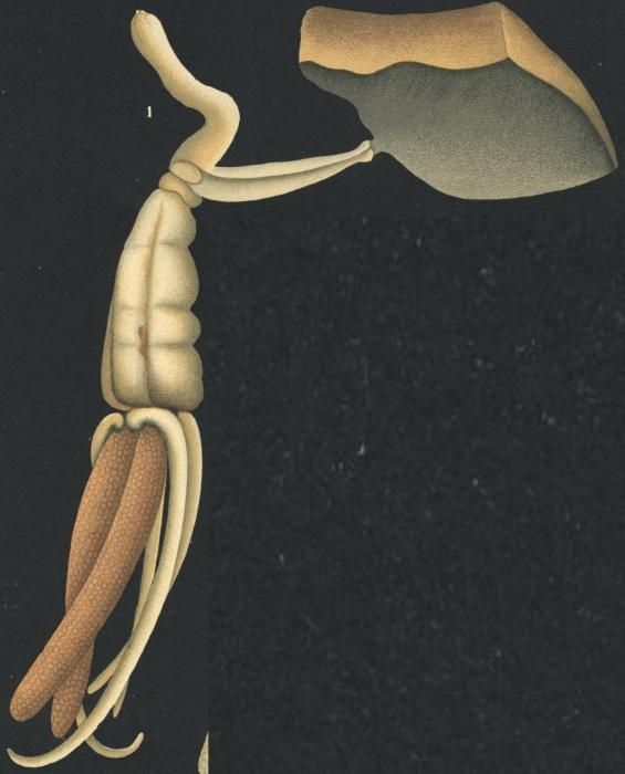 Brachiella thynni from Brian, A 1906