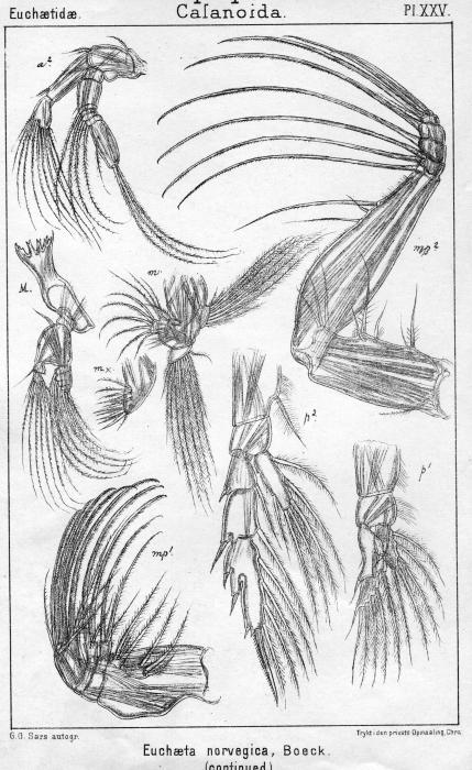 Euchaeta norvegica from Sars, G.O. 1902