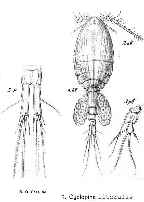 Cyclopina littoralis from Sars, G.O. 1902