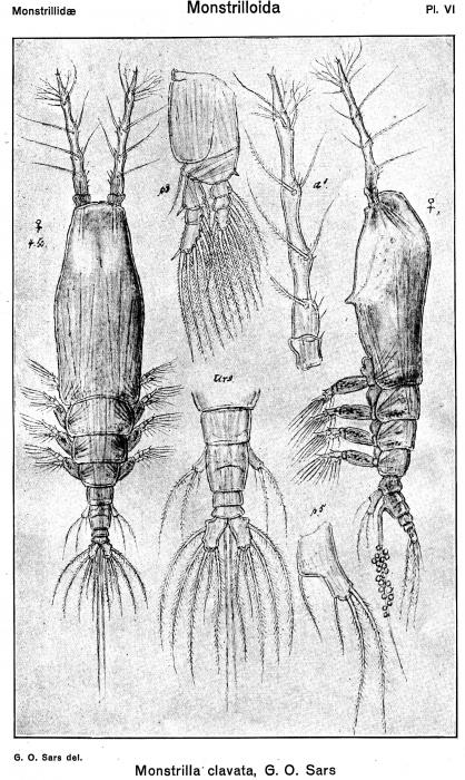 Monstrilla clavata from Sars, G.O. 1921