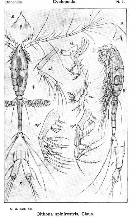 Oithona spinirostris from Sars, G.O. 1913