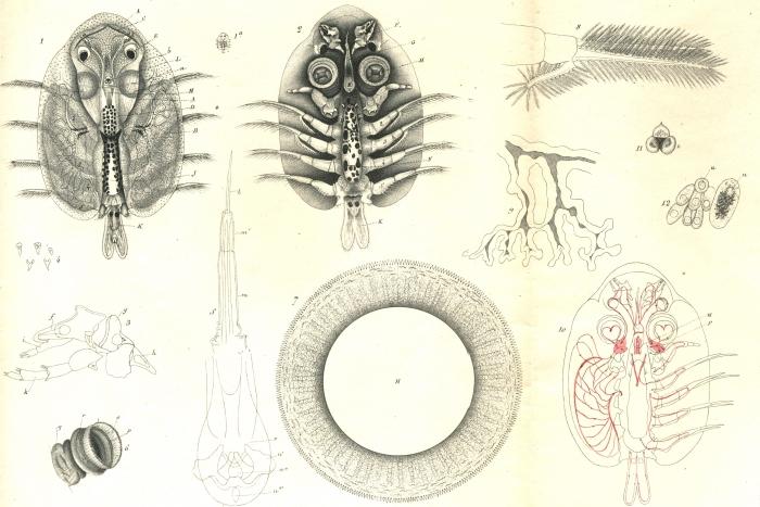 Argulus foliaceus from Vogt 1845