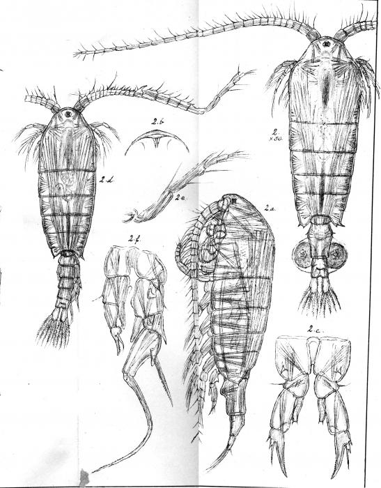 Diaptomus salinus from Sars, G.O. 1903