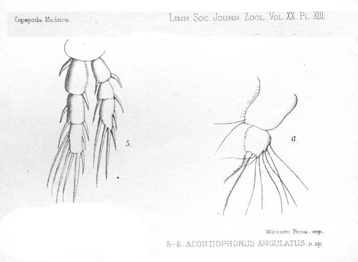 Acontiophorus angulatus from Thompson 1888
