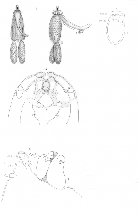 Clavella macrotrachelus from Brian, A 1906