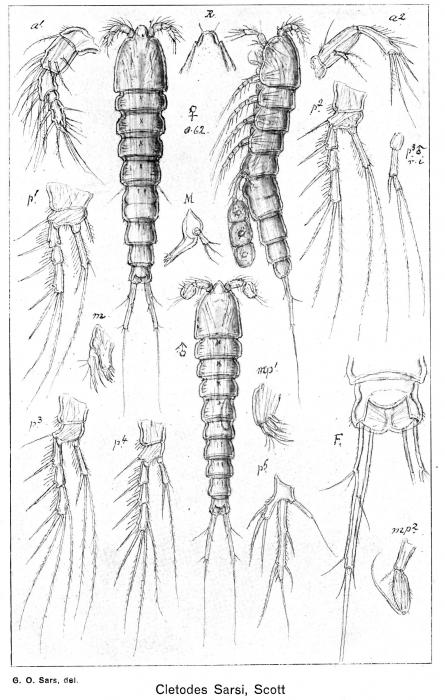 Cletodes sarsi from Sars, G.O. 1920