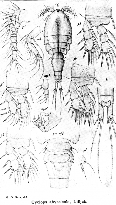 Cyclops abyssicola from Sars, G.O. 1913