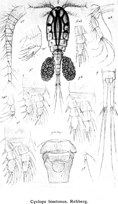 Cyclops bisetosus from Sars, G.O. 1913