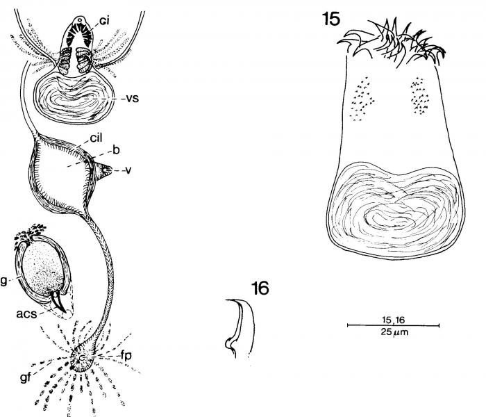 Duploperaclistus circocirrus