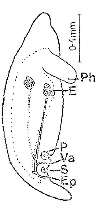 Ectocotyla hirudo