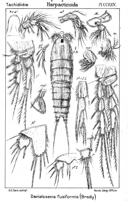 Danielssenia fusiformis from Sars, G.O. 1909