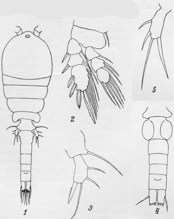 Paracyclopina nana from Smirnov 1935