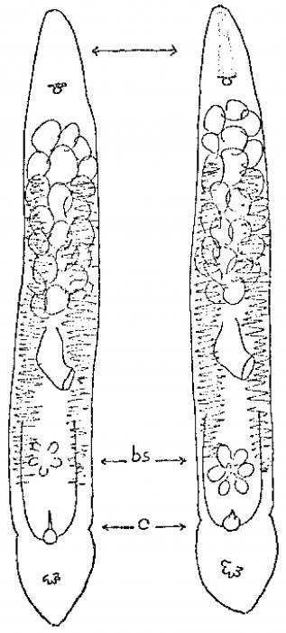 Monocelis fusca