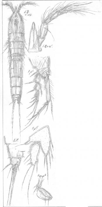 Amphiascus normani from Sars, G.O. 1911