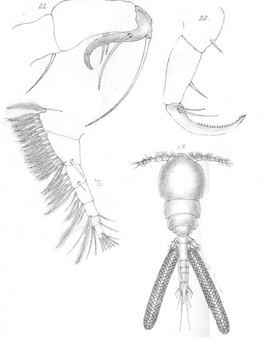 Bomolochus onosi from Scott, T 1902