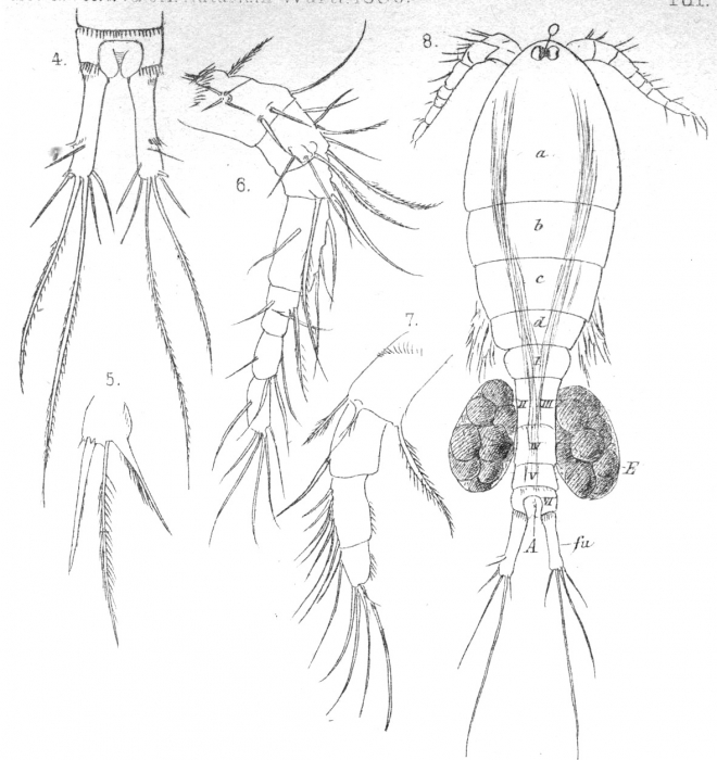 Cyclops fimbriatus from Vosseler 1886