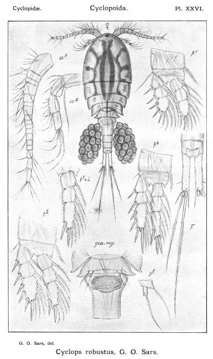 Cyclops robustus from Sars, G.O. 1913