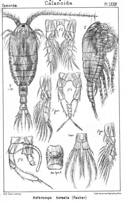 Heterocope borealis from Sars, G.O. 1902