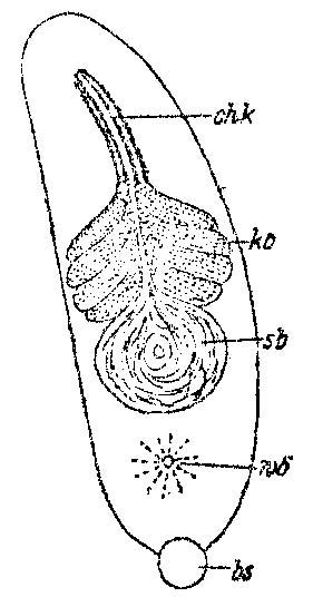Monocelopsis otoplanoides