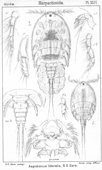 Aspidiscus littoralis from Sars, G.O. 1904