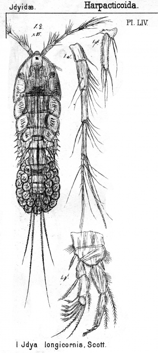 Idya longicornis from Sars, G.O. 1905