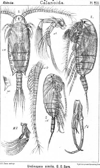 Undinopsis similis from Sars, G.O. 1902