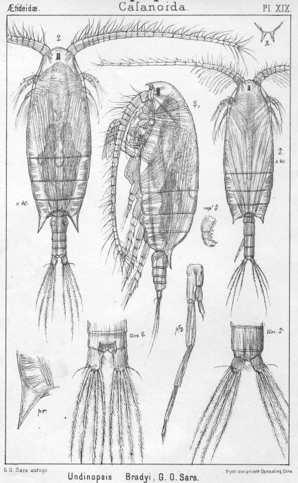 Undinopsis bradyi from Sars, G.O. 1902