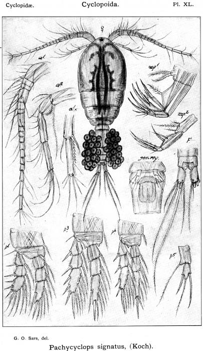 Pachycyclops signatus from Sars, G.O. 1914