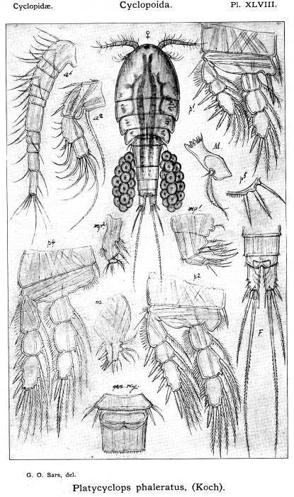 Platycyclops phaleratus from Sars, G.O. 1914